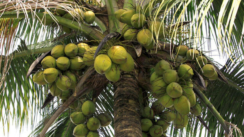 Unilever signs 1st sustainable coconut charter
